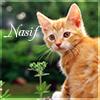 Nasif