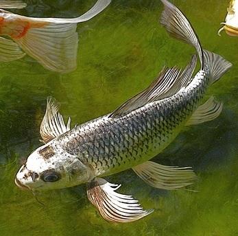 Silverdragonfish