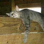 barnyard cat