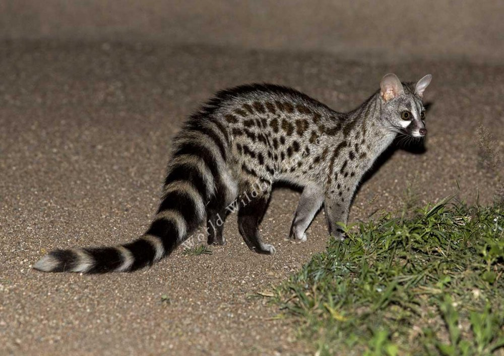 Genetta%20genetta%20_Common%20_Small-spotted_%20Genet__F5A5457%20_c_%20Andy%20and%20Gill%20Swash%20_WorldWildlifeImages_com_[1].jpg
