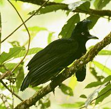 220px-AmazonianUmbrellabird[1].jpg