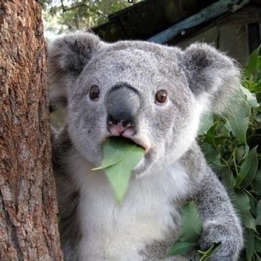 jawdrop-koala.jpg